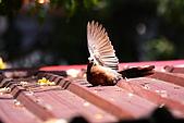 加羅林魚木下悠閒的珠頸斑鳩:IMG_5181.JPG