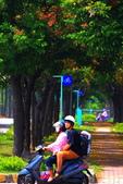東豐路台灣灤樹:IMG_6663.JPG