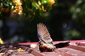 加羅林魚木下悠閒的珠頸斑鳩:IMG_5182.JPG