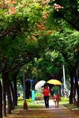 東豐路台灣灤樹:IMG_6752.JPG