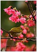 紅櫻花綠繡眼:CRW_2137.jpg
