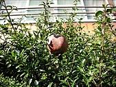 2007日本行(六):紅石榴