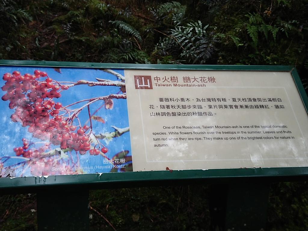 長腳登山隊的快樂行腳之台灣山毛櫸國家步道 20181103: