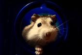 鼓鼓力一族:布丁鼠-鼓鼓力三郎