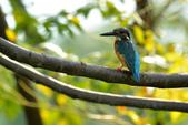 鳥類:翠鳥.jpg
