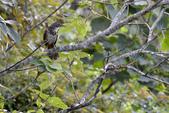 鳥類:大彎嘴畫眉.jpg
