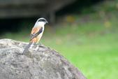 鳥類:棕背伯勞.jpg
