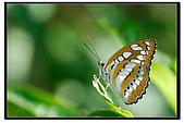 白三線蝶:DSC_3469.jpg