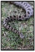 蛇來蛇去:_MG_1043.jpg