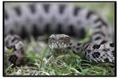 蛇來蛇去:_MG_1047.jpg