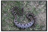 蛇來蛇去:_MG_1050.jpg