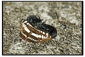 白三線蝶:DSC_3415.jpg