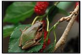 蛙類集合:DSC_5348.jpg