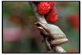 蛙類集合:DSC_5354.jpg