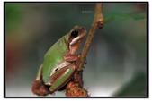 蛙類集合:DSC_5373.jpg