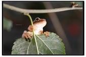 蛙類集合:DSC_6070.jpg