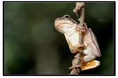 蛙類集合:DSC_6072.jpg