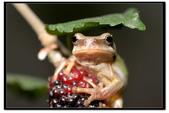 蛙類集合:DSC_6074.jpg