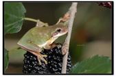 蛙類集合:DSC_6083.jpg
