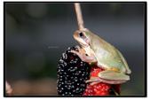 蛙類集合:DSC_6090.jpg