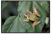 蛙類集合:DSC_6093.jpg