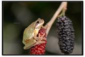 蛙類集合:DSC_6101.jpg