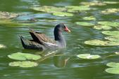 鳥類:紅冠水雞.jpg