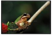 蛙類集合:DSC_5384.jpg