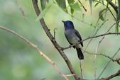 鳥類:黑枕藍鶲.jpg
