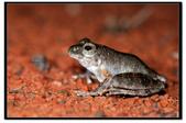 蛙類集合:DSC_6491.jpg