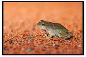 蛙類集合:DSC_1627.jpg
