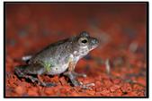 蛙類集合:DSC_6502.jpg