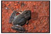 蛙類集合:DSC_6503.jpg