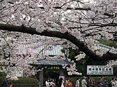 20080404日本關西櫻花滿開遊:哲學之道