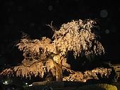 20080404日本關西櫻花滿開遊:八坂神社--百年櫻花夜景