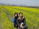 20080404日本關西櫻花滿開遊:小雛菊