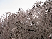20080404日本關西櫻花滿開遊:八坂神社--百年櫻花