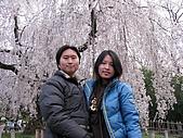 20080404日本關西櫻花滿開遊:八坂神社--櫻花瀑布