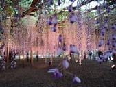 足利紫藤花園:IMG20190511182529.jpg