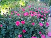 足利紫藤花園:IMG20190511183923.jpg