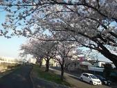 茨城櫻花:P1070761.JPG