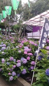 東京紫陽花:IMAG1461.jpg