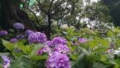 東京紫陽花:IMAG1466.jpg