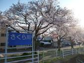 茨城櫻花:P1070758.JPG