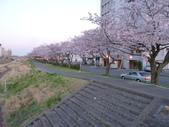 茨城櫻花:P1070786.JPG