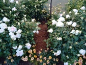 足利紫藤花園:IMG20190511183932.jpg