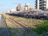 茨城櫻花:P1070765.JPG