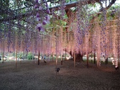 足利紫藤花園:IMG20190511182453.jpg