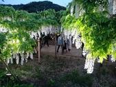 足利紫藤花園:IMG20190511184302.jpg