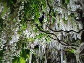 足利紫藤花園:IMG20190511191246.jpg